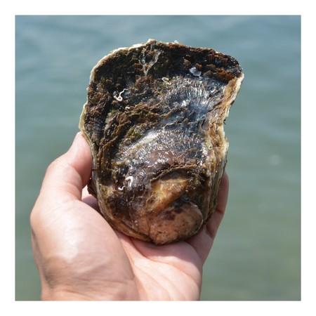 岩牡蠣 (佐伯産)1.5kg